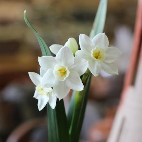 今日の花*水仙(スイセン)