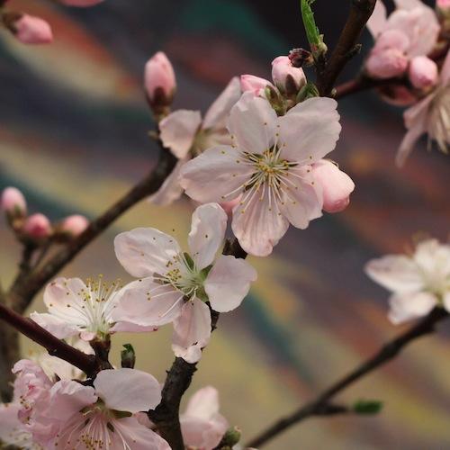 今日の花「桃」