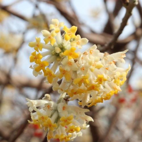 今日の花「ミツマタ/三椏」