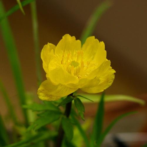 今日の花「ボタンキンバイ/牡丹金梅」