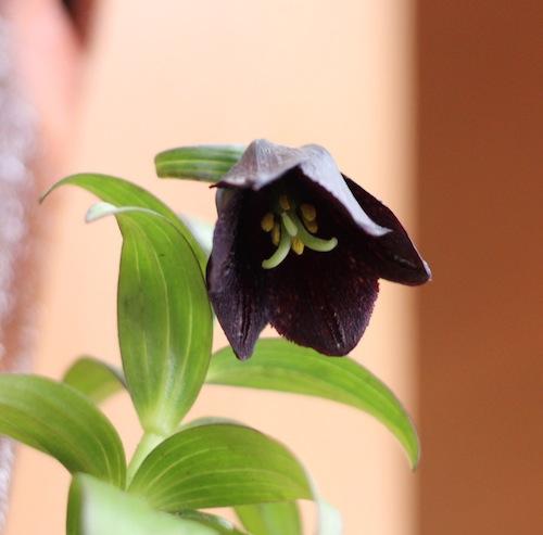 今日の花「クロユリ」