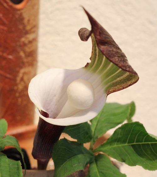 今日の花「ユキモチソウ/雪餅草」