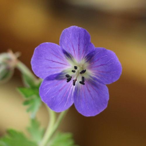 今日の花「アオバナ フウロ/青花風露」
