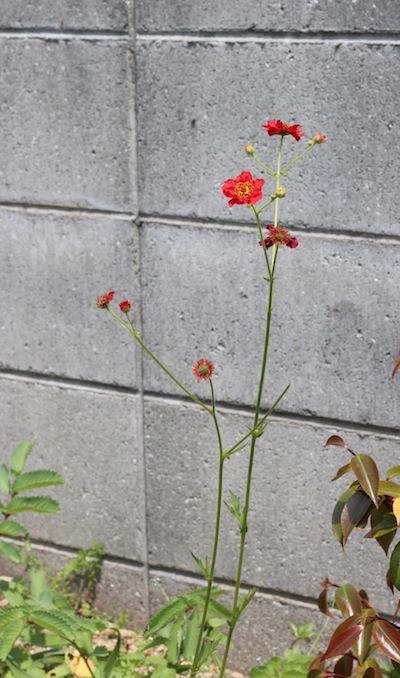 今日の花「紅花大根草/ベニバナダイコンソウ」