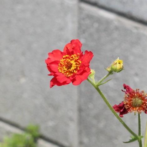 今日の花「赤花大根草/アカバナダイコンソウ」