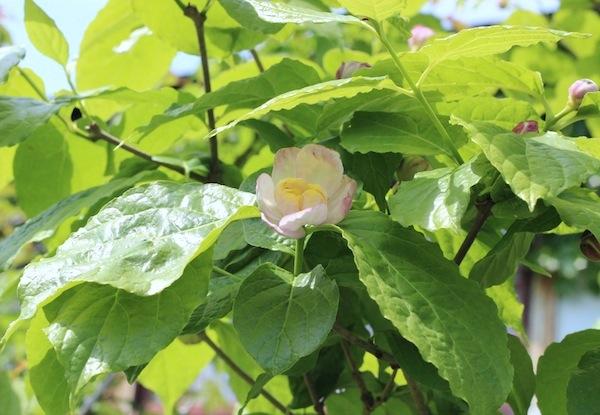 今日の花「夏蝋梅/ナツロウバイ」