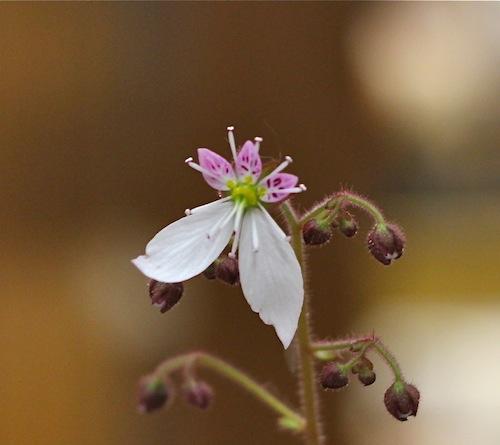 今日の花「ユキノシタ/雪ノ下」