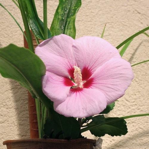 今日の花「木槿(ムクゲ)」