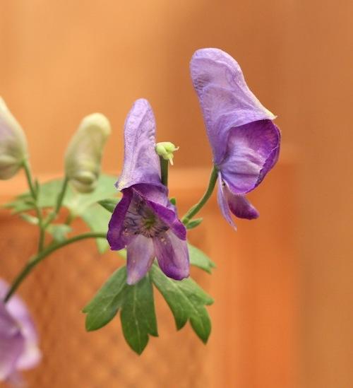 今日の花「鳥兜(トリカブト)」