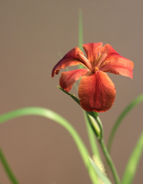 今日の花「茶菖蒲/チャショウブ」