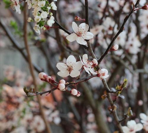 今日の花「ベニアンズ/紅杏」