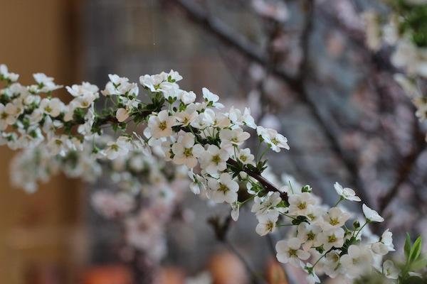 今日の花「ユキヤナギ/雪柳」