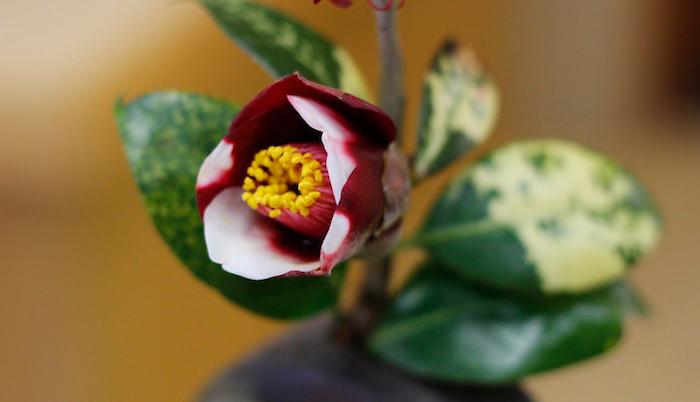 今日の花「つばき」